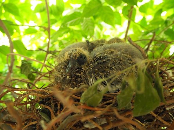 Nest jonge duiven